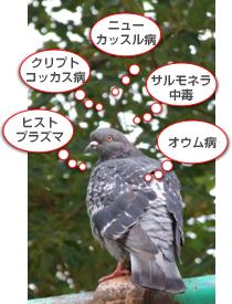 鳩の健康被害